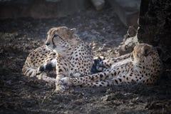 Leopardi dell'Amur fotografia stock
