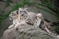 Leopardi delle nevi (uncia di Uncia) Immagine Stock Libera da Diritti