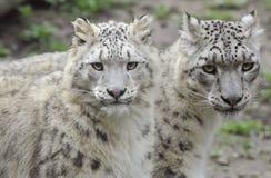 Leopardi di neve Fotografia Stock