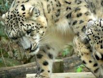 Leopardi di neve Fotografia Stock Libera da Diritti