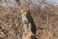 Leopardjunges Stockfotografie