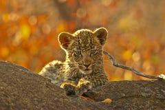 Leopardjunges auf einem Zweig lizenzfreie stockbilder
