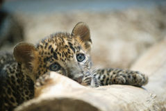Leopardjungsporträt Lizenzfreie Stockfotografie