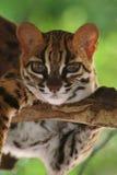 Leopardkatt, Felis Bengalennsis, Sarawak, Malaysia royaltyfria bilder