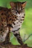 Leopardkatt, Felis Bengalennsis, Sarawak, Malaysia fotografering för bildbyråer