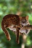 Leopardkatt, Felis Bengalennsis, Sarawak, Malaysia royaltyfri bild