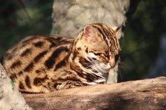 Leopardkatt i naturlig skog royaltyfria bilder