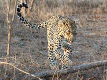 leopardkringstrykande Royaltyfria Bilder