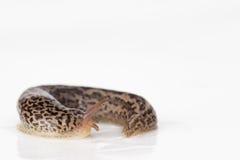 Leopardkula med kölen Royaltyfri Foto