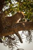 Leopardlügen mit den Beinen, die von der Niederlassung baumeln lizenzfreie stockfotografie