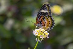 LeopardLacewingfjäril som matar på Lantana Fotografering för Bildbyråer