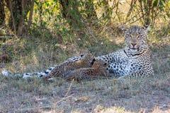 Leopardmamma och diagröngölingar royaltyfri foto