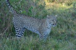 Leopardmarkering i skuggorna Tom Wurl Arkivbild