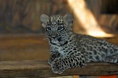 Leopardmiezekatze stockfotos