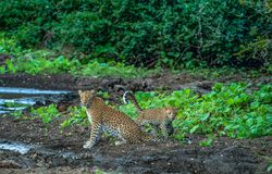 Leopardmoder med gröngölingen - lägre Sambesi NP Zambia royaltyfri foto