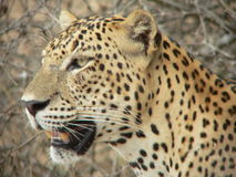 Leopardo 10, Wilpattu, Sri Lanka Imagens de Stock Royalty Free