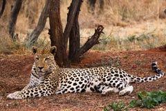 Leopardo fotografía de archivo libre de regalías