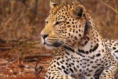 Leopardo Imagens de Stock