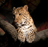 Leopardo Fotos de Stock Royalty Free
