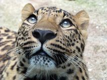 Leopardo Immagine Stock