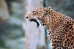 Leopardo. imagen de archivo