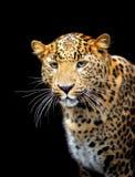 Leopardo imágenes de archivo libres de regalías