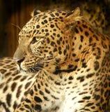 Leopardo, Foto de Stock Royalty Free