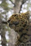 Leopardo Immagine Stock