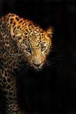 Leopardo foto de stock royalty free