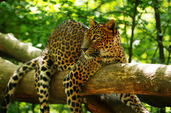 Leopardo 3 Fotografia Stock
