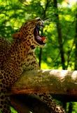 Leopardo 2 Fotografia Stock