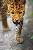 leopardo Fotografia de Stock