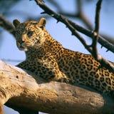 leopardo Fotografia de Stock Royalty Free