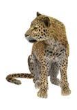leopardo Imagem de Stock