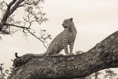 leopardo Immagini Stock