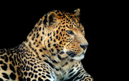 Leopardo fotografía de archivo