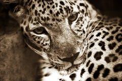 Leopardo fotografia stock