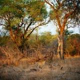 Leopardo foto de archivo