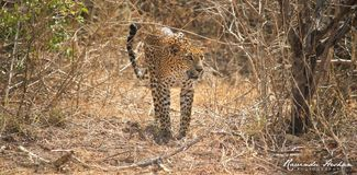 leopardo Fotografie Stock
