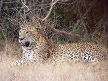 Leopardo 8, Wilpattu, Sri Lanka. Immagine Stock