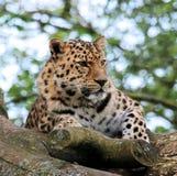 Leopardo 9 Immagini Stock Libere da Diritti