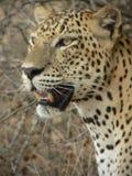 Leopardo 9, Wilpattu, Sri Lanka Imagem de Stock Royalty Free