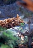 Leopardo Fotos de archivo