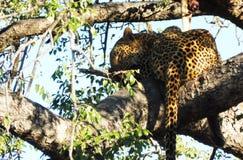 Leopardo Imagen de archivo libre de regalías