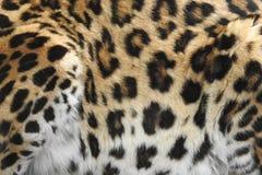 Leopardo accovacciantesi vicino su dei punti fotografia stock libera da diritti