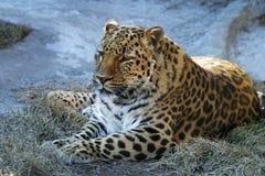 Leopardo adulto imagenes de archivo
