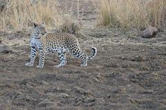 Leopardo adulto que está no aberto Fotografia de Stock Royalty Free