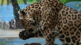 Leopardo affamato che lecca il suo piede stock footage