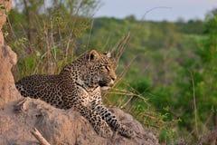 Leopardo africano imagen de archivo