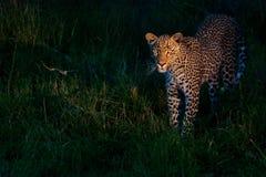Leopardo africano Immagini Stock Libere da Diritti